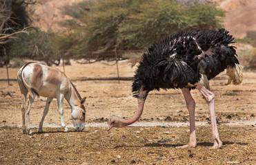 wild ass and ostrich