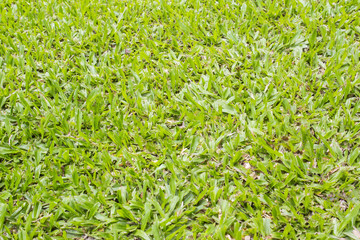The growth of the the grass green lawn.