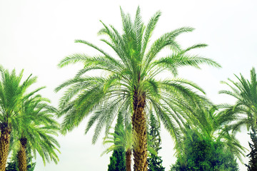 Date palm against the grey sky