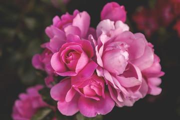 Beautiful rose blossoms close up