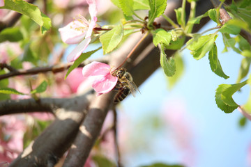 Weeping Crabapple Flower with bee