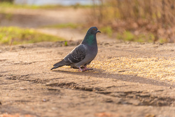 A pigeon eating grain
