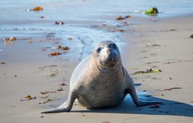 Robbe aus dem Meer kommend
