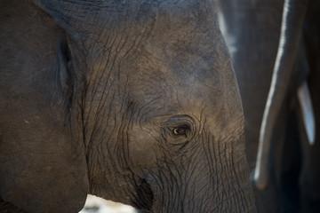 Junger Elefant ganz nah