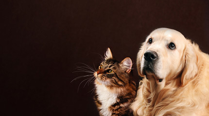 Cat and dog, siberian kitten , golden retriever looks at left