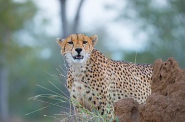 Gepard auf einem Aussichtspunkt