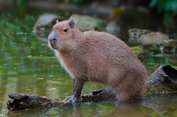 Capybara / Wasserschwein