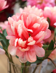 Photo of beautiful pink peony