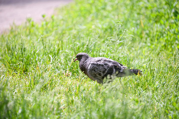 Pigeon in grass