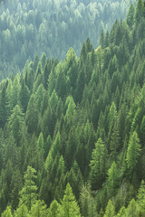 Papiers peints Forets Healthy green trees in a forest of old spruce, fir and pine
