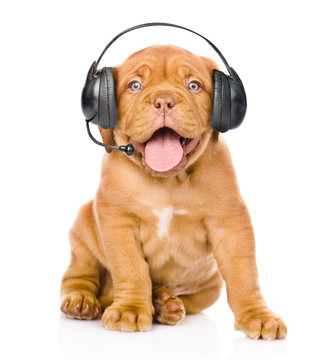 Bordeaux puppy dog with phone headset. isolated on white