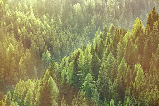 Healthy green trees in a forest of old spruce, fir and pine trees