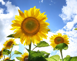 Sunflowers in the field on the sunny day.