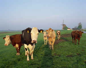 Cows on a polder in the early morning, with a windmill in the background, in Holland, Europe
