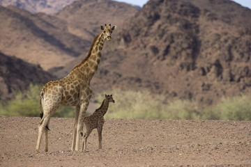 Desert giraffe (Giraffa camelopardalis capensis) with her young, Namibia, Africa