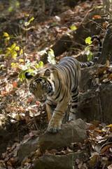 Indian Tiger (Bengal tiger) (Panthera tigris tigris), Bandhavgarh National Park, Madhya Pradesh state, India, Asia