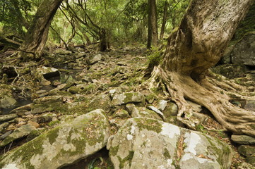 Kanooka tree (water gum), Den of Nagun, Mitchell River National Park, Victoria, Australia, Pacific