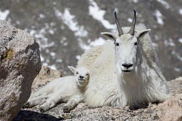 Mountain goat (Oreamnos americanus) nanny and kid, Mount Evans, Colorado, United States of America, North America