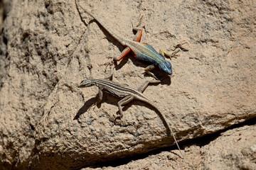 Male and female Augrabies flat lizard (Platysaurus broadleyi), Augrabies Falls National Park, South Africa, Africa