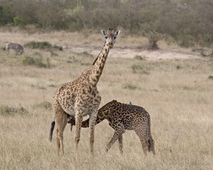 Baby Masai giraffe (Giraffa camelopardalis tippelskirchi) nursing, Masai Mara National Reserve, Kenya, East Africa, Africa