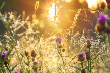 sunrise on the blossoming summer meadow