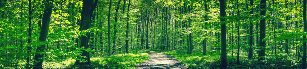Forest trail in a green beech forest