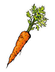 Carrot. Vector drawing