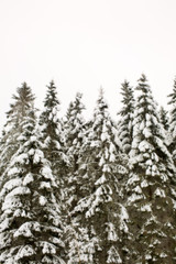 Coniferous trees covered in snow against clear sky