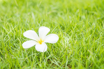 Fallen beautiful white flower , desert rose flower on blurred fresh green grass floor textured background in the garden