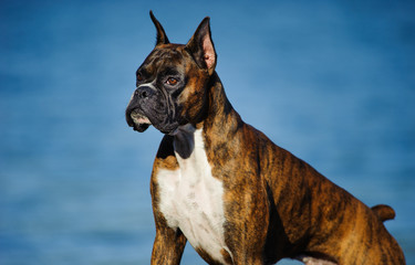 Boxer dog with cropped ears against blue water