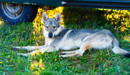 domesticated wolf dog resting relaxed on a meadow in shadow of caravan car. Czechoslovakian shepherd. Eye contact.