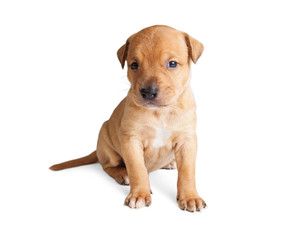 Adorable Young Crossbreed Puppy Sitting