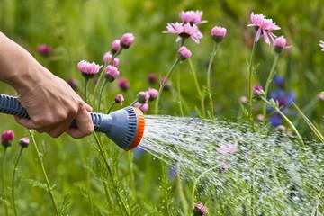 hand watering flowers in the garden