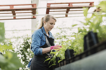 Low angle view of female gardener examining plants in greenhouse