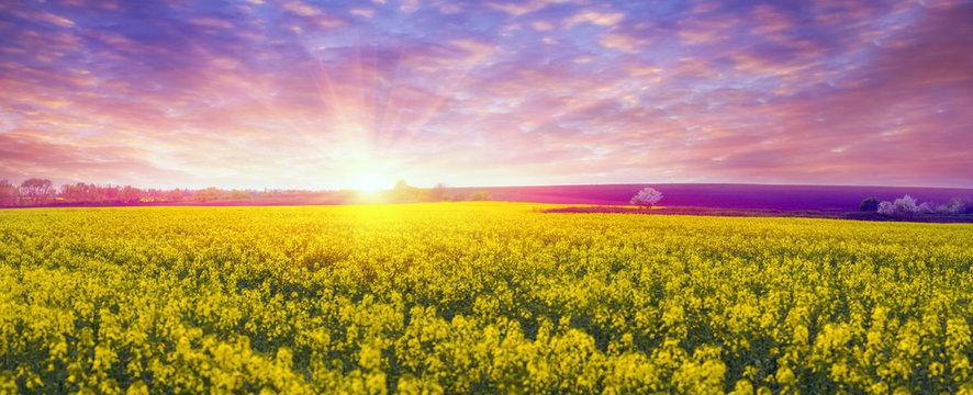 Rapeseed field in spring