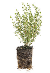 new French thyme plant with roots