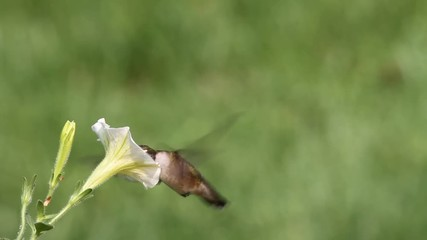 Fotoväggar - Juvenile Ruby-throated Hummingbird (archilochus colubris) in flight with a yellow flower and a green background