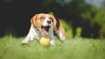 Funny Beagle dog fails to catch ball