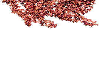 red ivy leaves in autumn. Autumn leaves isolated on the white background..