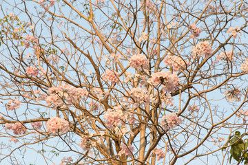 Beautiful blooming pink flower of Tabebuia heterophylla. (Trumpet Tree )