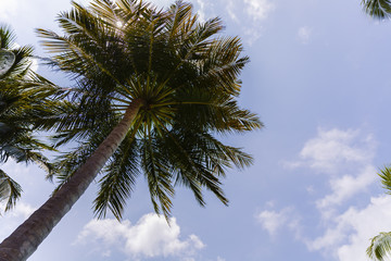 Close up detail of a tropical coconut palm tree variety found in