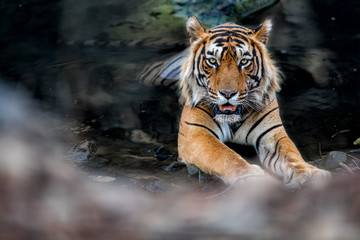 Tiger in the watter in Ranthambhore National Park in India/Tiger in the watter