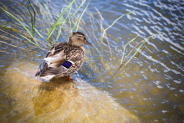 Duck near water