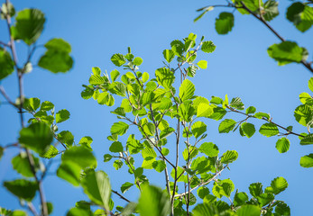 Alder branches with young green solar leaves are drawn up against the clear blue sky.