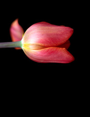 Pink Tulip Flower on a black background
