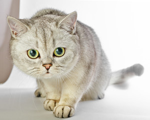 Beautiful domestic gray or gray British shorthair cat with yellow eyes on a white background.