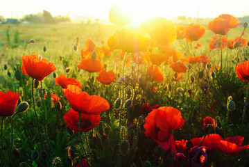 The huge field of red poppies flowers