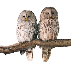 Pair of Ural owls (Strix uralensis). Isolated