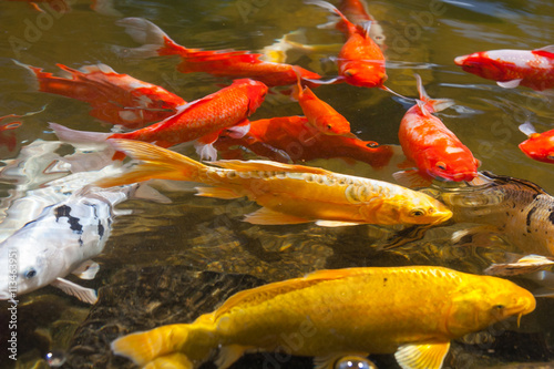Yellow gold red and white koi also known as for Carpe koi tarif
