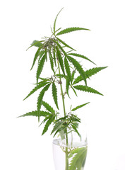The cannabis plant, marijuana plant, isolated on white backgroun